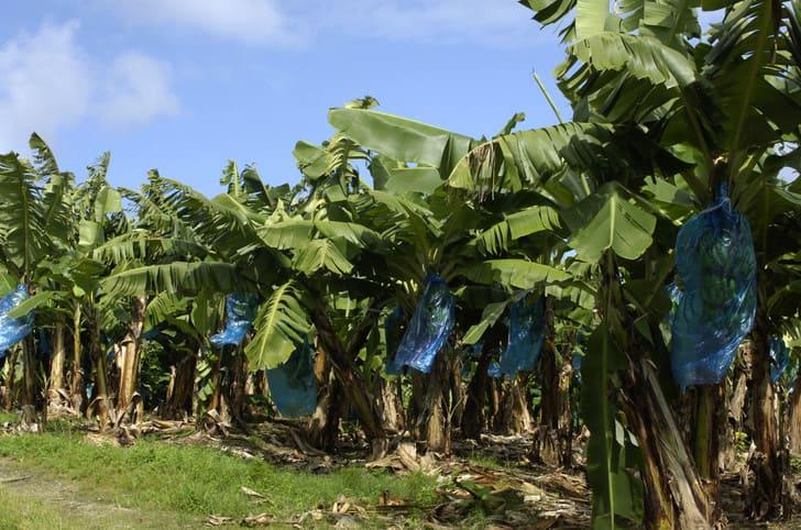 Bananeraie-Martinique
